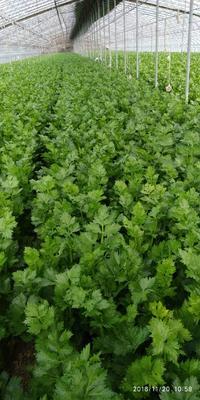 山东省菏泽市曹县法国皇后芹菜 60cm以上 0.5~1.0斤 大棚种植
