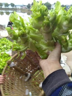 四川省四川儿菜 2.0斤以上