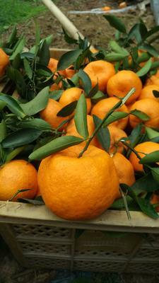 四川省自贡市荣县椪柑  统货 2 - 3两 柑橘碰柑芦柑橘子