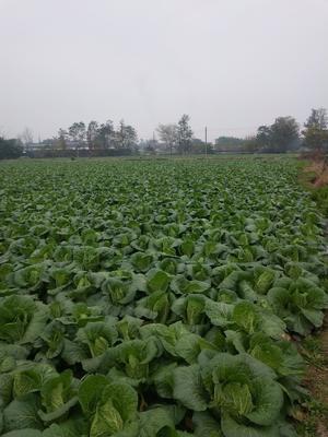 四川省德阳市广汉市黄心大白菜 3~6斤 二毛菜
