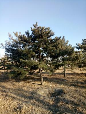 山西省大同市城区造型油松
