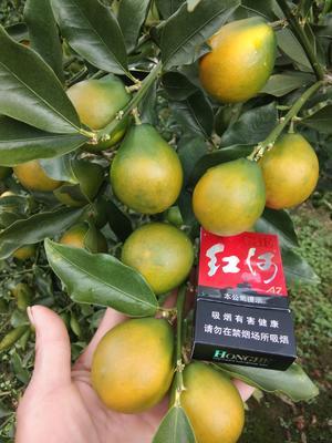 广西壮族自治区柳州市融安县脆蜜金桔 3-4cm 1两以下