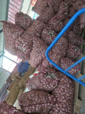 贵州省遵义市红花岗区红皮大蒜 混级统货 多瓣蒜