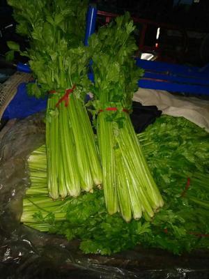 河南省周口市扶沟县法国皇后芹菜 50~55cm 0.5~1.0斤 大棚种植