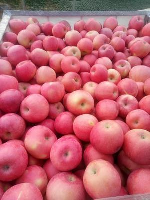 河北省保定市涿州市红富士苹果 80mm以上 片红 纸袋