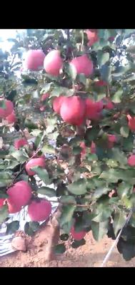 辽宁省大连市瓦房店市红富士苹果 75mm以上 全红 纸袋