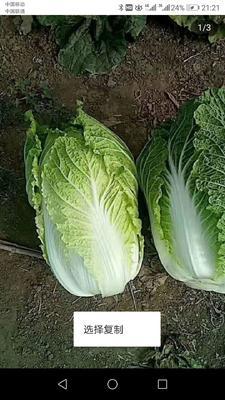河南省周口市商水县秋白菜 10~15斤 净菜