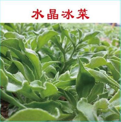 冰草种子 冰菜种子