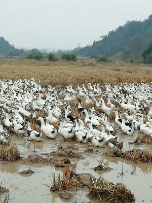 这是一张关于花边鸭 统货 全散养 4-5斤的产品图片