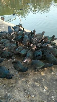 江西省吉安市吉安县番鸭 4-5斤 母 全散养