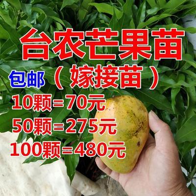 广西壮族自治区钦州市灵山县台农芒果苗