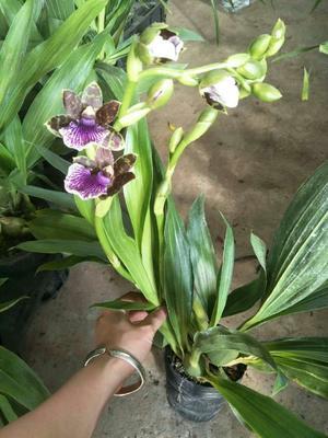 这是一张关于紫香兰 含盆的产品图片