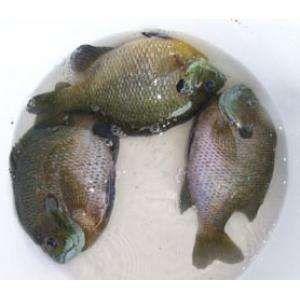 这是一张关于蓝鳃太阳鱼的产品图片