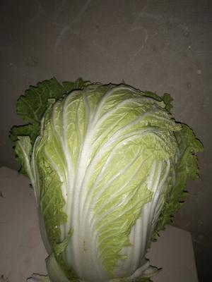 河南省商丘市睢阳区丰抗70白菜 6~10斤 净菜