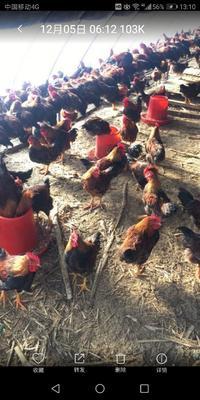 这是一张关于土鸡 3-4斤 公的产品图片
