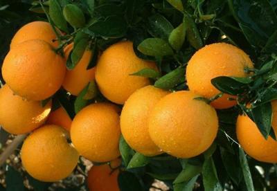 这是一张关于冰糖橙 60 - 65mm 4两以下的产品图片