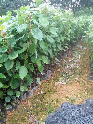 广东省广州市增城区红苞木