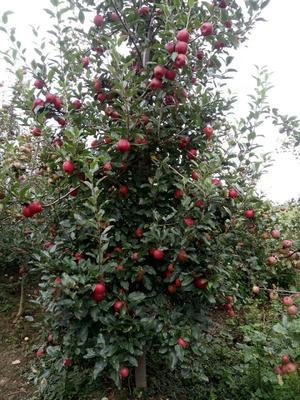这是一张关于红富士苹果 70mm以上 片红 光果的产品图片