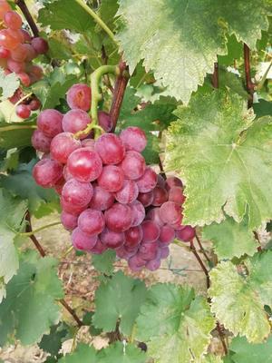 河北省石家庄市晋州市巨峰葡萄 0.8-1斤 5%以下 1次果