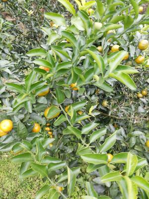 这是一张关于清香蜜桔 4 - 4.5cm 1.5 - 2两的产品图片