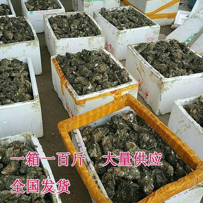 这是一张关于大连生蚝 人工殖养 2-3两/只的产品图片