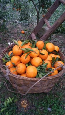 四川省自贡市荣县芦柑  2 - 3两 统货 柑橘芦柑橘子碰柑桔子
