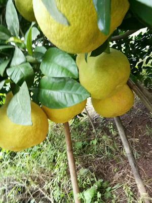 四川省泸州市合江县真龙柚  1.5斤以上 三,五几斤也可选
