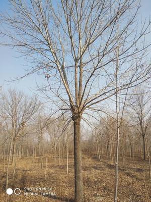 山东省滨州市沾化区速生白蜡 2.5~3米