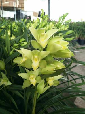 这是一张关于绿精灵兰花 含盆的产品图片
