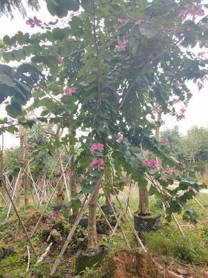 福建省漳州市龙文区岭南洋紫荆树
