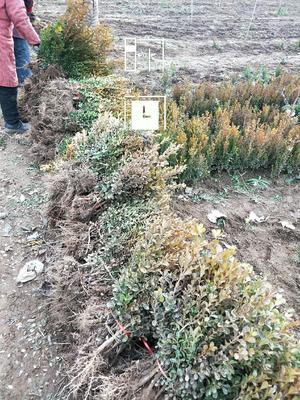 这是一张关于 小叶黄杨的产品图片