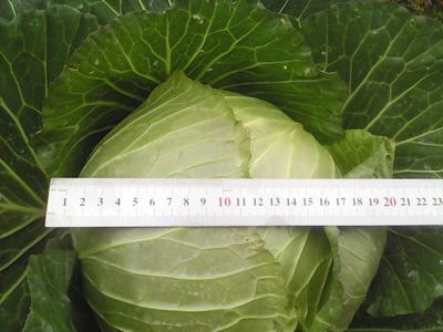 四川省眉山市东坡区扁球甘蓝 2.5~3.0斤