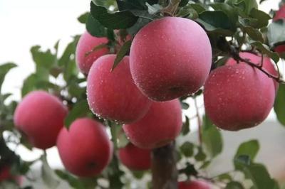 甘肃省庆阳市西峰区红富士苹果 85mm以上 片红 纸袋