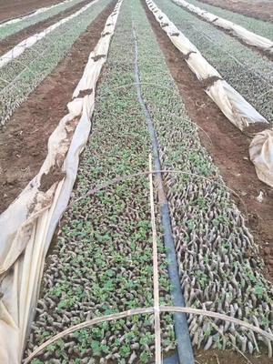 这是一张关于葛种种苗 的产品图片