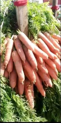 这是一张关于三红胡萝卜 15cm以上的产品图片