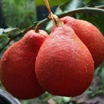 这是一张关于泰国青柚苗的产品图片