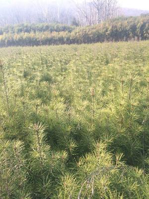 这是一张关于河南白皮松  南阳市南召县白皮松苗的产品图片