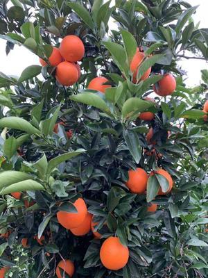 这是一张关于纽荷尔脐橙 55mm以下 4两以下的产品图片