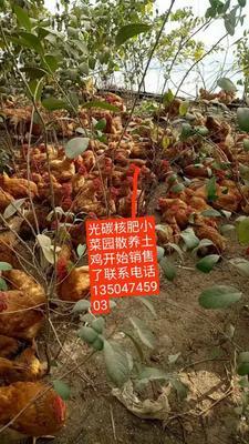 吉林省四平市梨树县土鸡 5-6斤 公