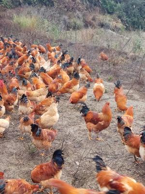 这是一张关于长汀河田鸡 3-4斤 母的产品图片