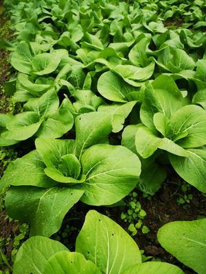 这是一张关于青梗菜种子的产品图片