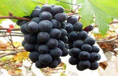 辽宁省营口市盖州市巨峰葡萄 0.8-1斤 5%以下 1次果