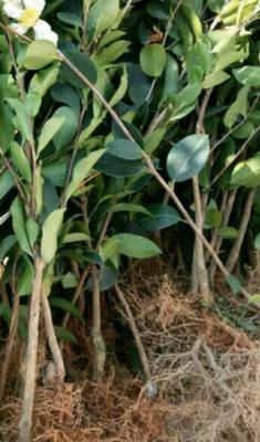这是一张关于油茶苗的产品图片