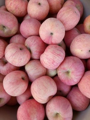 辽宁省葫芦岛市绥中县红富士苹果 60mm以上 条红 纸袋
