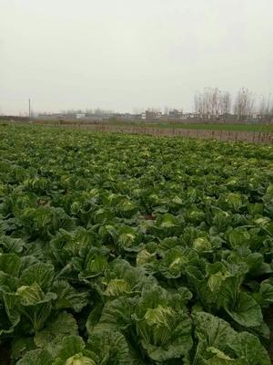 这是一张关于青杂三号白菜 6~10斤 毛菜的产品图片