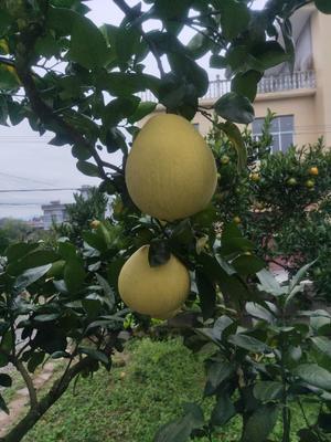 湖北省恩施土家族苗族自治州宣恩县贡水白柚 1.5斤以上