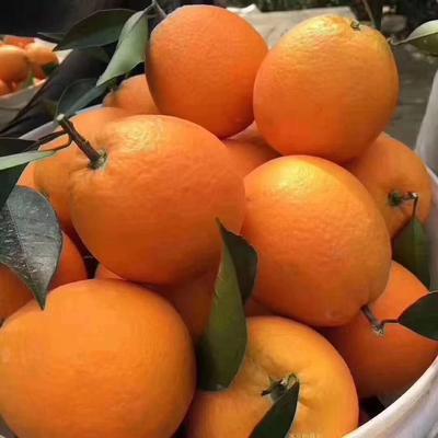 这是一张关于纽荷尔脐橙 60 - 65mm 4两以下的产品图片