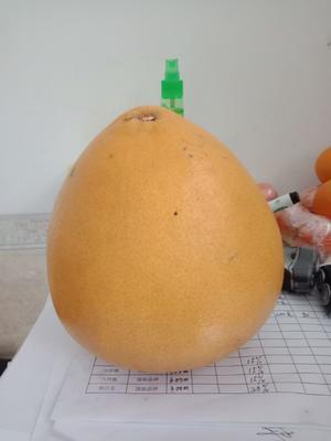 湖南省常德市石门县黄金柚 1.5斤以上