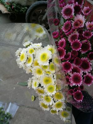 广东省广州市荔湾区雏菊