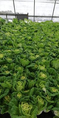 这是一张关于超级黄心菜的产品图片